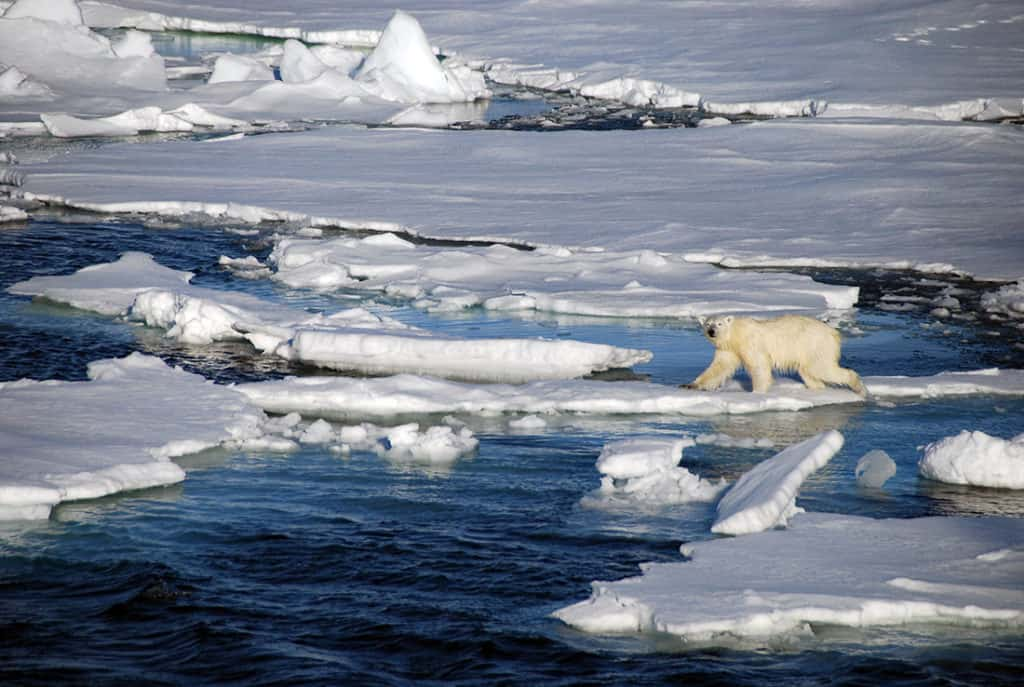 A lonely polar bear hunting on the pack ice of the Arctic Circle.