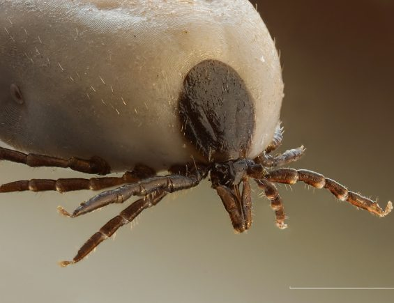 The tick debate: how should you pull them out?