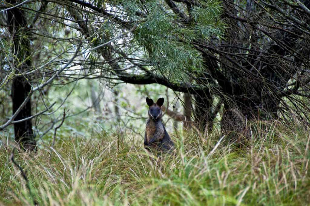 sapphire-coast wallaby