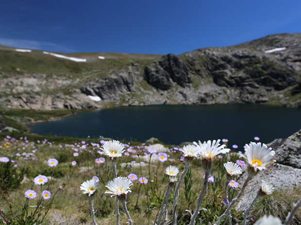 Alpine wildflowers in Spring time. Photo: ©Snowy Mountains Tourism
